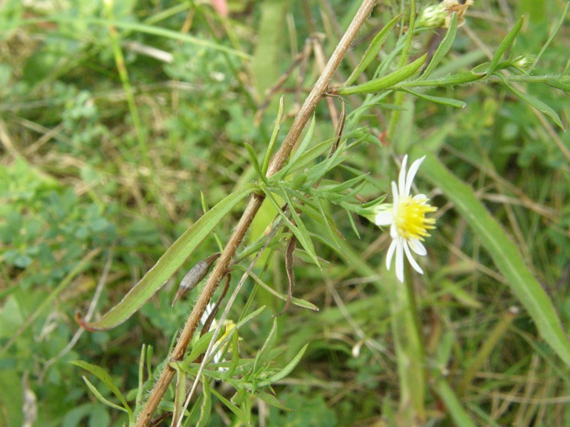 White Heath Aster ?