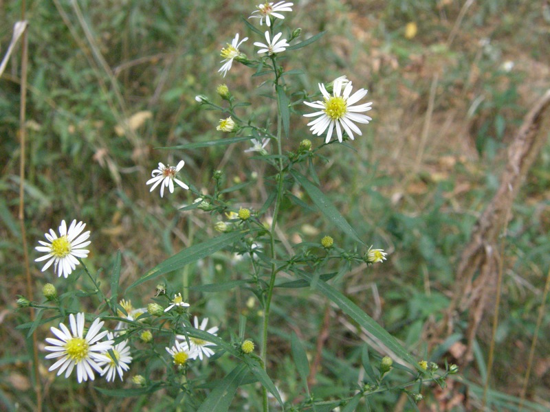 Small White Asters