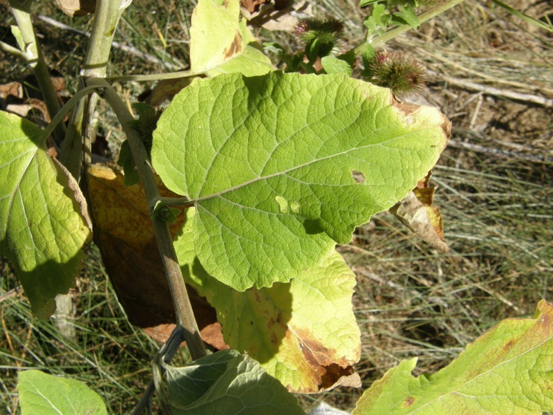 Common Burdock
