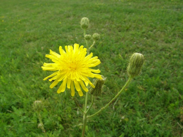 Field Sow-thistle
