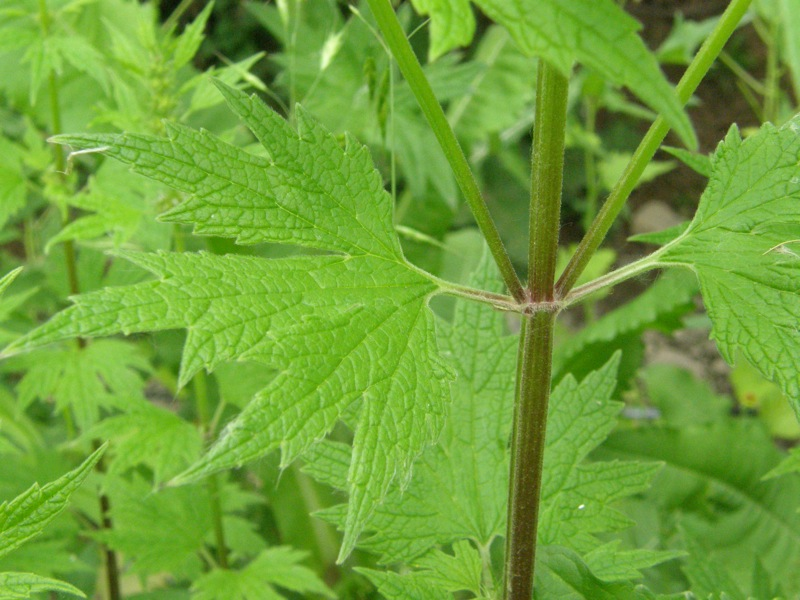 Common Motherwort