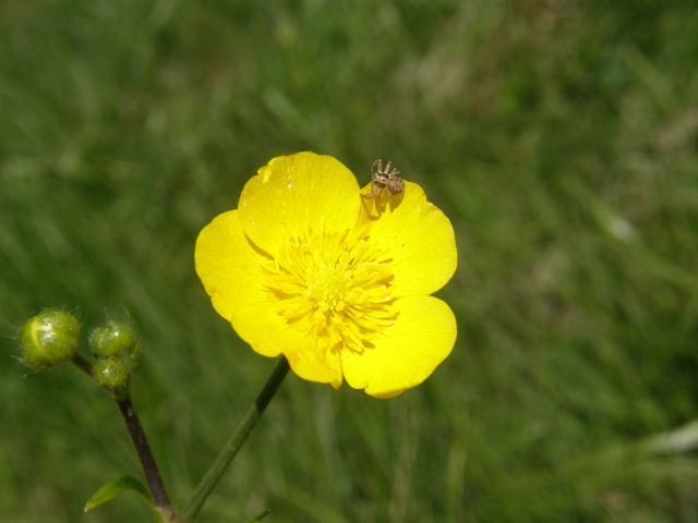 Common Buttercup