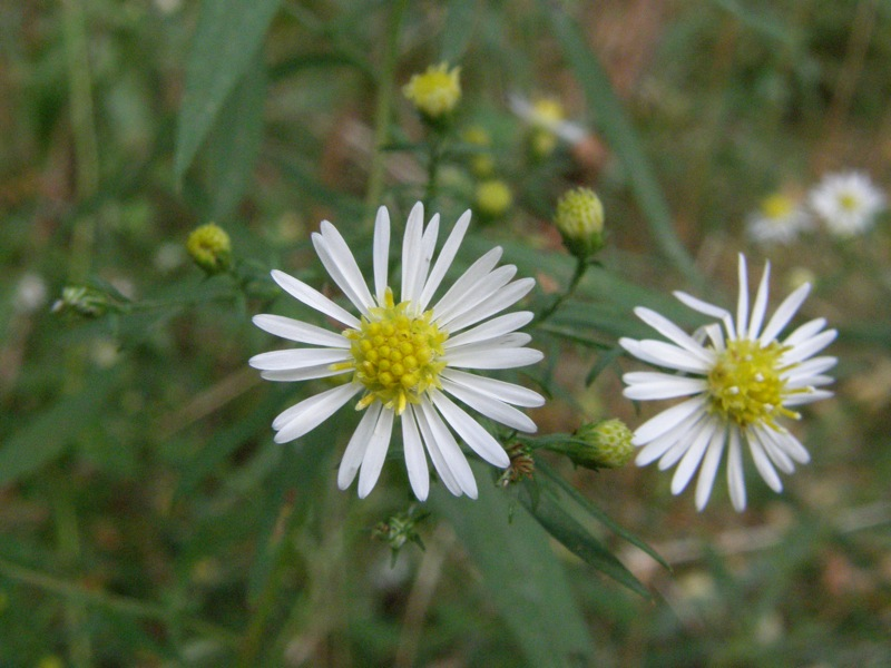 Small White Aster ?