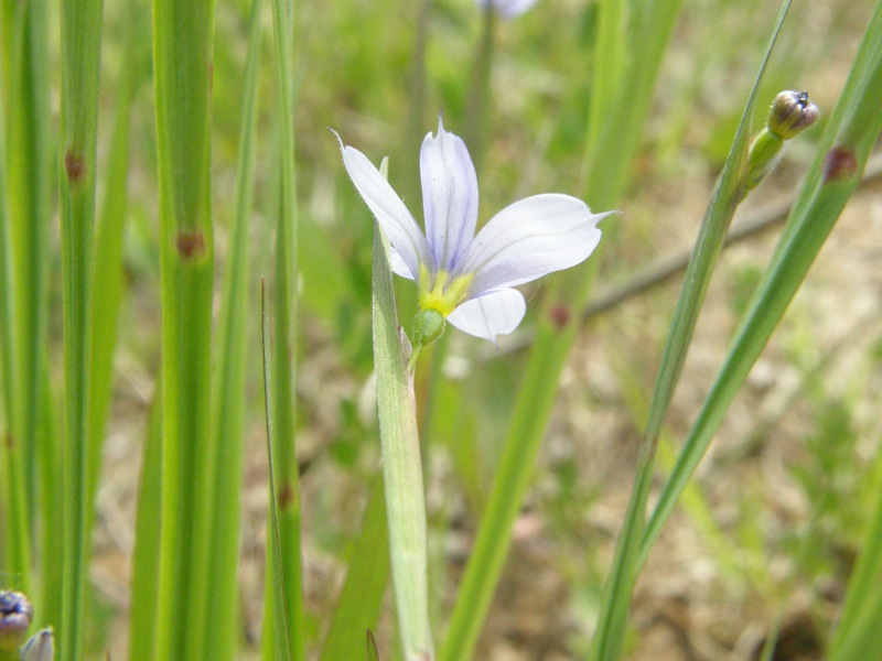 Strict Blue-eyed Grass